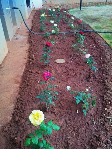 This newly prepared rose patch on just a one-foot-deep soil bed has taken roots effortlessly.