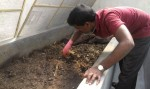 Our housekeepr Muniraju, the backbone of all our green initiatives, doing his best to save the worms.