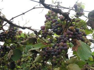 The grapes of wrath: Different coloured grapes in one bunch means they are ripening at different stages. The farmers say that if all's well, all the fruits in one bunch ripen at once. No wonder why this output gets readily rejected by wineries.