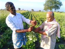 A farmer in A. Gonehal village, AP, is counting the number of pods in a groundnut plant which was treated with Thrishakti tonic.